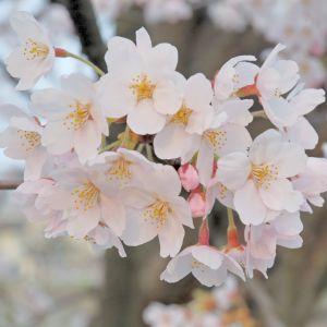 ほんとはケヤキなんだけど、今日だけ桜のマンホール。