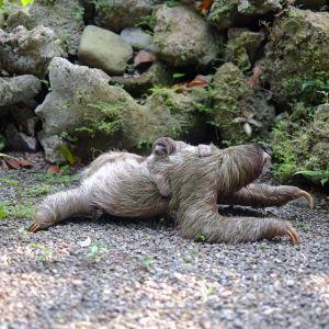 ずぶ濡れのナマケモノは悪夢の如き恐ろしさwww