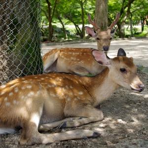GWで需要と供給のバランスが崩れた奈良公園のシカがこちらです