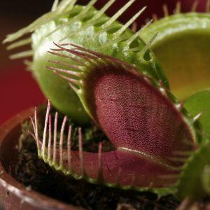 食虫植物は知っているがこれは知らなかった… 虫を監禁して養う植物らしい