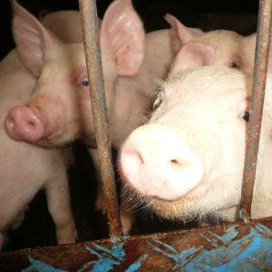 チビが幼稚園から借りてきた絵本、三匹の子豚ならぬ「三匹の子オオカミ」に出てくる悪い豚の破壊力がすごすぎてお腹が痛いwww