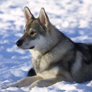 ジュリアロバーツを 異常なまでに怖がるハスキー犬w
