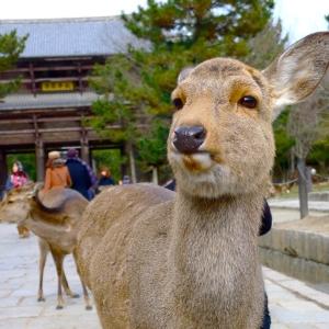 奈良公園ではロウソクを灯す灯花会が開催され、鹿たちがやりたい放題。