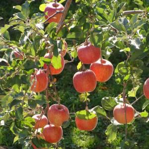 まるで昼ドラみたいな重い過去を持つリンゴが安売りされてたw