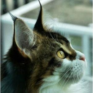 猫が喜ぶと思って100均で買ってみたら、30分くらいずっと眺めてた😍