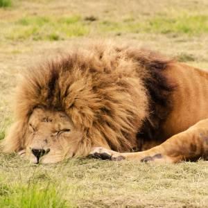 閉園後のライオンさんが平和そのものwwwww