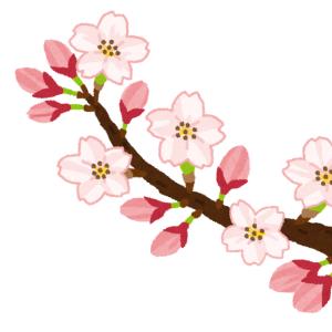 熟睡中の野良猫に桜吹雪がつもってた🌸