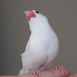 握られの順番待ちをする文鳥wwwwww