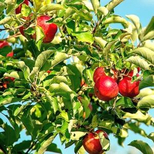 壮観。アイルランドのリンゴ農園がハリケーンで「リンゴ畑」に…