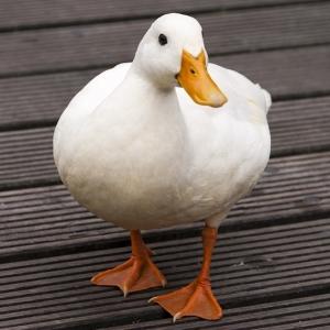 コールダックはとても警戒心が強い鳥です()