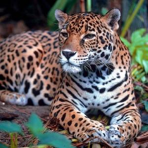 動物園のジャガーに湯たんぽをプレゼントした結果…さすがネコ科w
