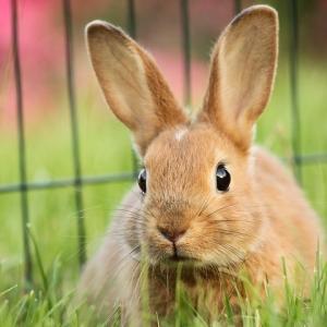 正月休みに預かったウサギを嫉妬のまなざしで覗き込む猫w