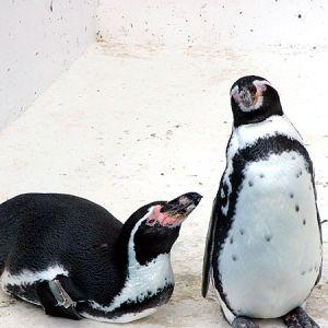 水族館のペンギンにヨーヨーを見せてみた結果www