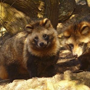 多摩動物公園のタヌキ企画展、飼育員の声が面白すぎるだろ…