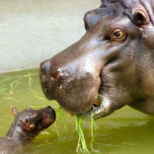 まだ歯も生えてない「カバの赤ちゃん」がとてつもなく可愛い…