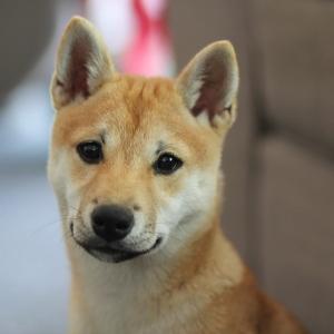 犬の予防接種に行ったら動物病院が柴祭りだった😍
