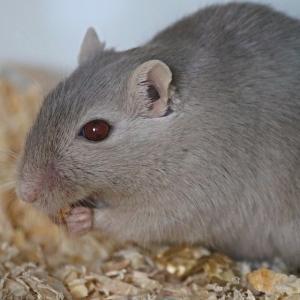 人間を信頼しすぎてるネズミ…ちょっとは抵抗しろw
