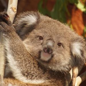 見た目からは想像もつかない「コアラの鳴き声」がこちらですw