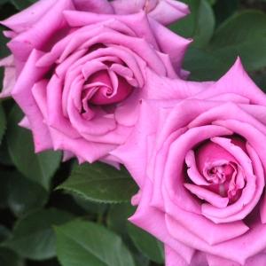 母の日に貰った「薔薇の入浴剤」を使ってみたら風呂場が修羅場と化したww