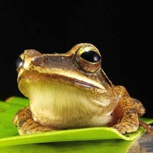 えらいデカい声でカエルが鳴いてるから、どんだけ大物かと思ったら…