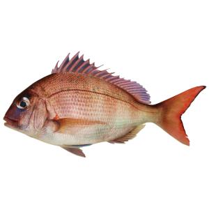 とんでもない修羅場を生き延びた「鯛」が売られているww