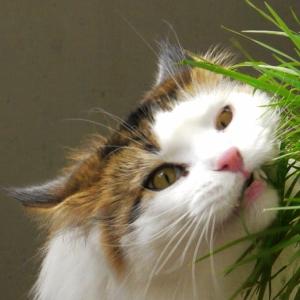 それはあまりに激しすぎた。猫草の食べ方が豪快すぎる猫ww