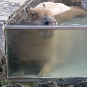 あまりの暑さに水風呂で伸びる「カピバラ」の顔が安らかすぎて一瞬ヒヤッとした…😓