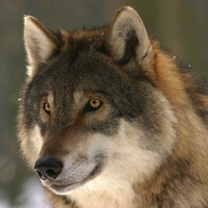 """「誰よりも近くで見てるハズなのに…w」ある動物園の注意書きに描かれた""""オオカミのイラスト""""が画伯すぎるw"""