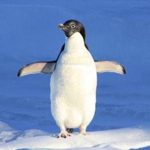 割れた流氷に取り残されたペンギンが決死のジャンプ!アクション映画ばりの光景が話題に