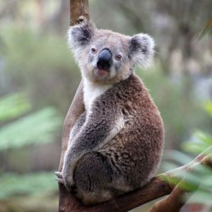 獣医さんに顔の触診を受けてうっとりするコアラが可愛すぎる😆