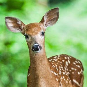 おっちゃんピンチ! 奈良公園でエサを貰うシカの「食べ方」があまりにフォトジェニックwww