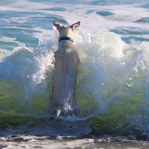 海をはじめて見るワンコ、押し寄せる「波」の予想外の早さにひっくり返るww