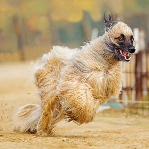 【犬以上の何か】強風に晒された狩猟犬・アフガンハウンドの迫力がものすごいwww