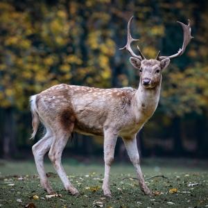 GW観光客が増えすぎて鹿せんべいが食べきれない奈良公園のシカ、酷い事になってる…🦌