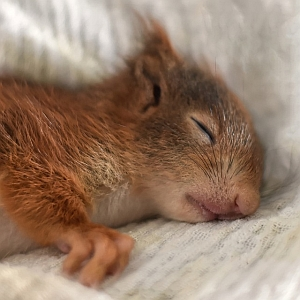 ポケモンのイーブイがお昼寝してるぬいぐるみが可愛かったので注文したら…昼寝どころか冬眠してた😂