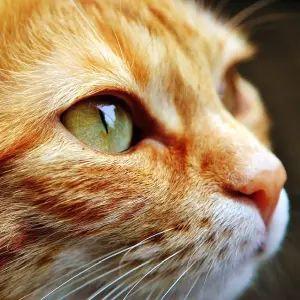 【動画】「めくるめく瞳孔…」ねこじゃらしを追う美猫さんのドアップ顔にツイ民悶絶😍