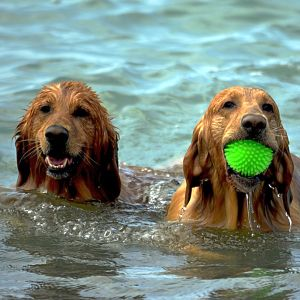 犬に「おしり乾かすよ!」といってドライヤーの風を当てようとしたら…なんという悩殺ポーズ😍
