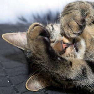 【動画】「どういうメカニズム!?」…肉球を触られると変なスイッチが入ってしまう猫さん😹