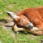 「うーんあと5分…」警戒心ゼロで地面に寝そべるカンガルーが可愛すぎるww