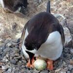 【衝撃】「水に入れるとペンギンのひなが孵る」という卵玩具で遊んでみた結果www